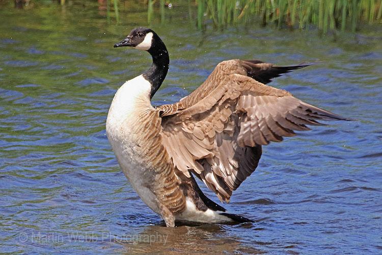 30075AC Canada Goose