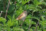 30104AC Sedge Warbler