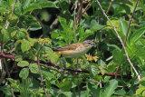 30109AC Sedge Warbler