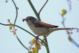 30184AC Whitethroat