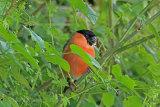 30242AC Bullfinch