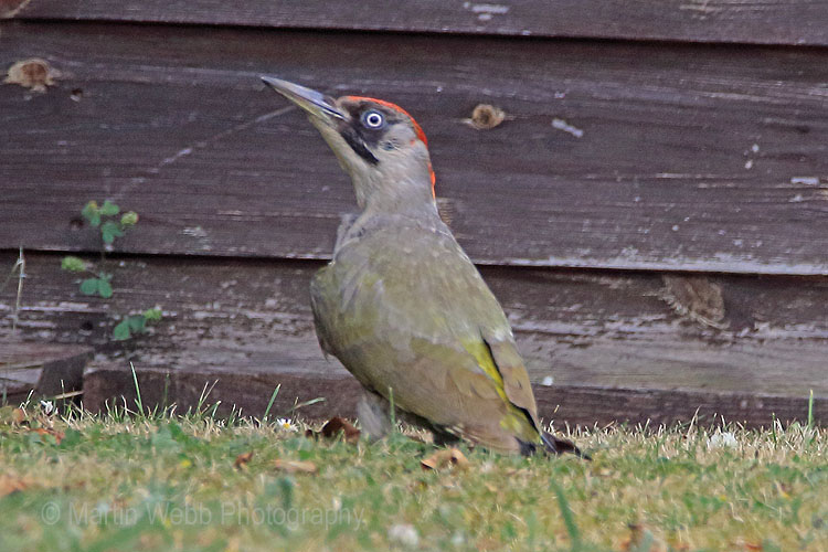 30600AC Green Woodpecker