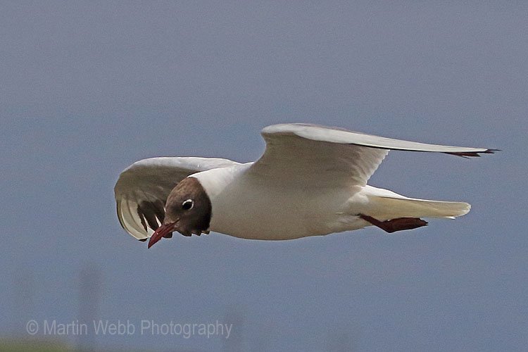 30615AC Black-headed Gull