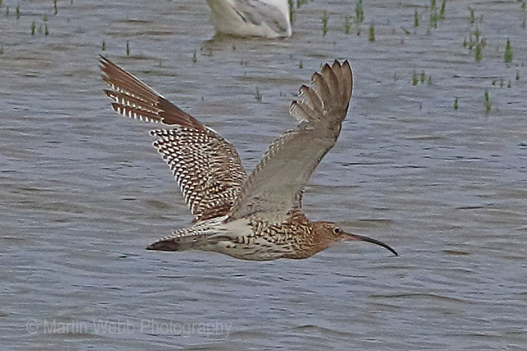 30624AC Curlew
