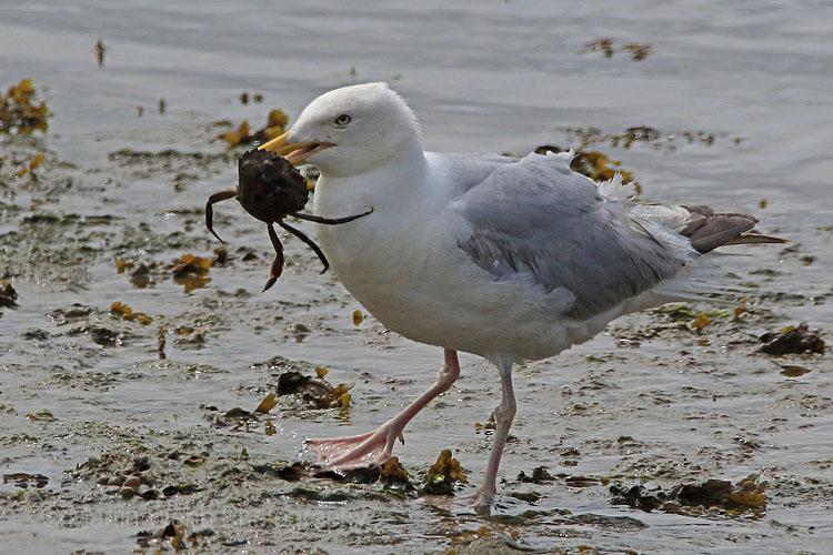 30655AC Herring Gull