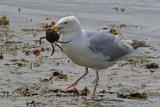 30655AC Herring Gull