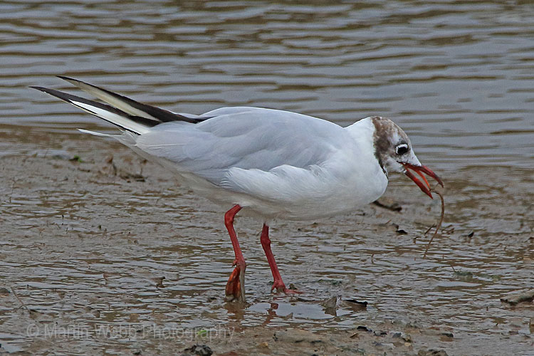 30750AC Black-headed Gull