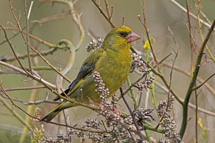 31221AC Greenfinch