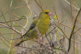 31221AC Greenfinch
