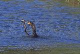 31277AC Cormorant