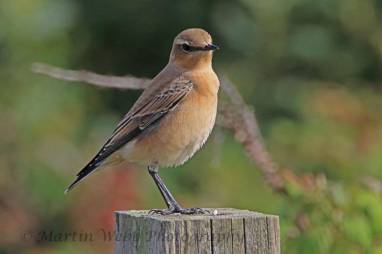 31307AC Northern Wheatear
