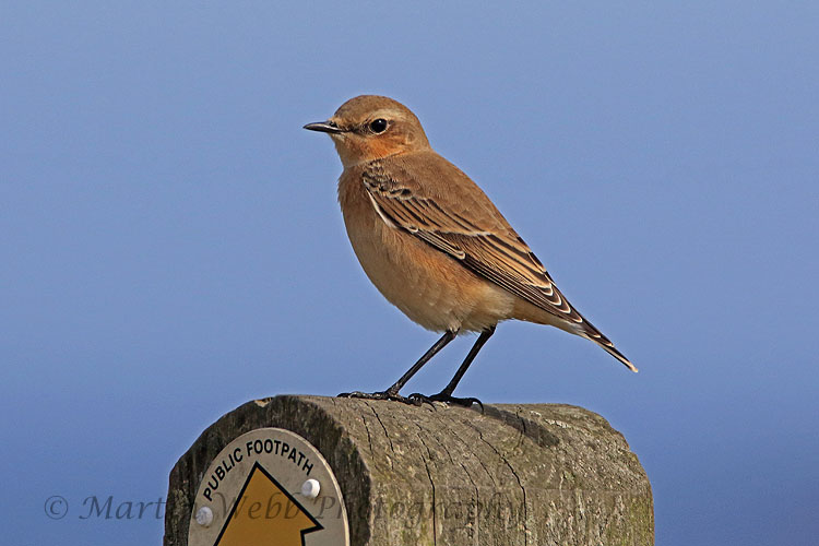 31313AC Northern Wheatear