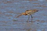 31471AC Black-tailed Godwit