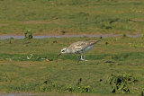 31495AC Grey Plover