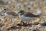 31537AC Ringed Plover