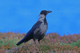 31571AC Carrion/Hooded Crow Hybrid