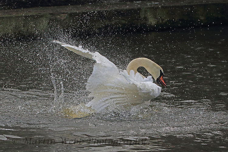 31653AC Mute Swan