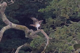 31664AC Osprey