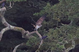 31683AC Osprey