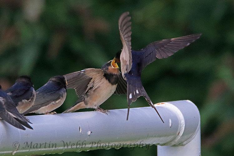 31764AC Swallow