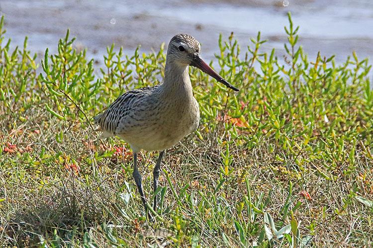 31778AC Bar-tailed Godwit