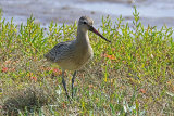 31778AC Bar-tailed Godwit