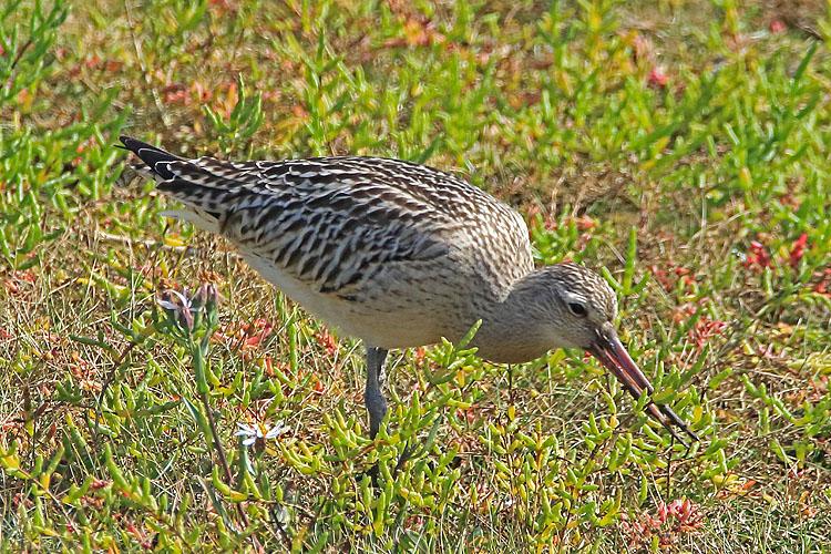 31786AC Bar-tailed Godwit