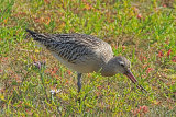 31786AC Bar-tailed Godwit