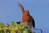 31960AC Robin