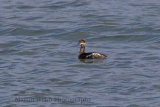 32151AC Black-necked Grebe