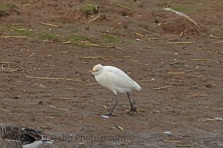 32176AC Cattle Egret