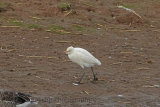 32176AC Cattle Egret