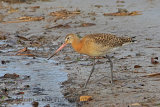 32343AC Black-tailed Godwit