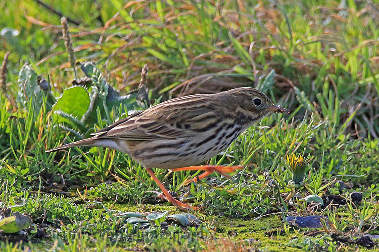 32397AC Meadow Pipit