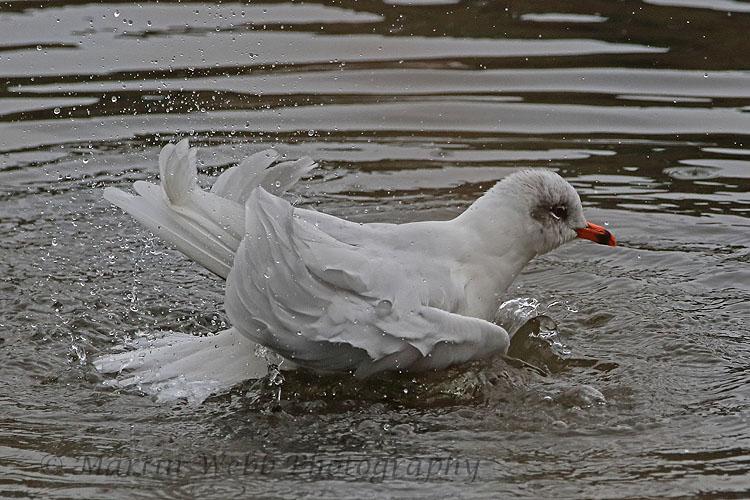 32451AC Mediterranean Gull