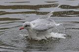 32452AC Mediterranean Gull