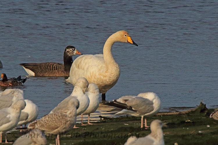 32825AC Whooper Swan