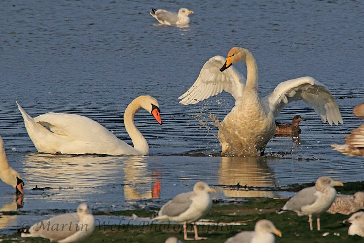 32830AC Whooper Swan