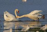 32835AC Whooper Swan