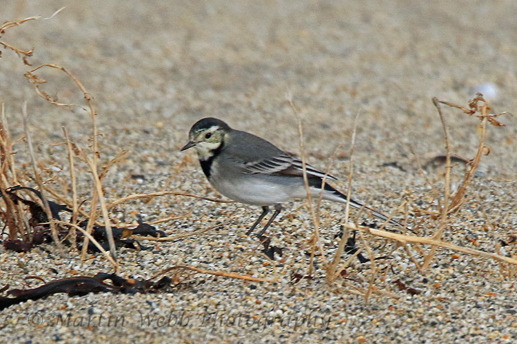 32884AC Pied Wagtail