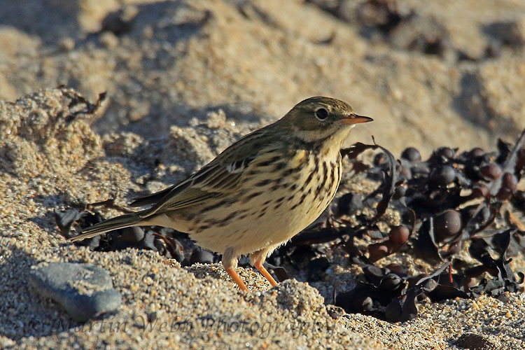 33217AC Meadow Pipit