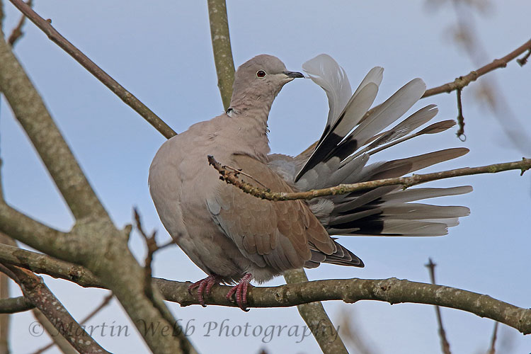 33240AC Collared Dove