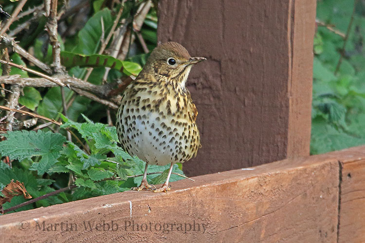 33305AC Song Thrush