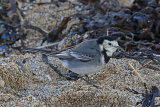 33353AC Pied Wagtail