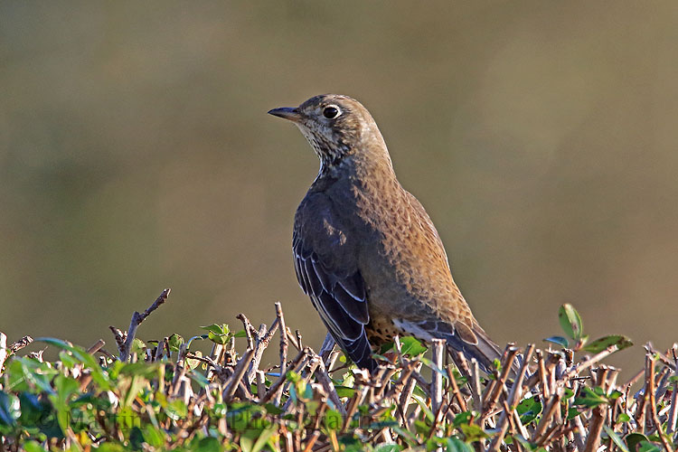 33436AC Mistle Thrush