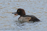 33481AC Tufted Duck