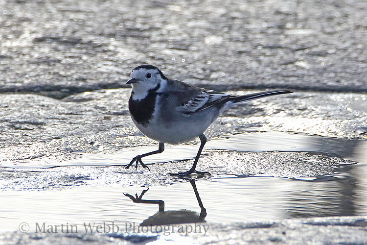 33697AC Pied Wagtail