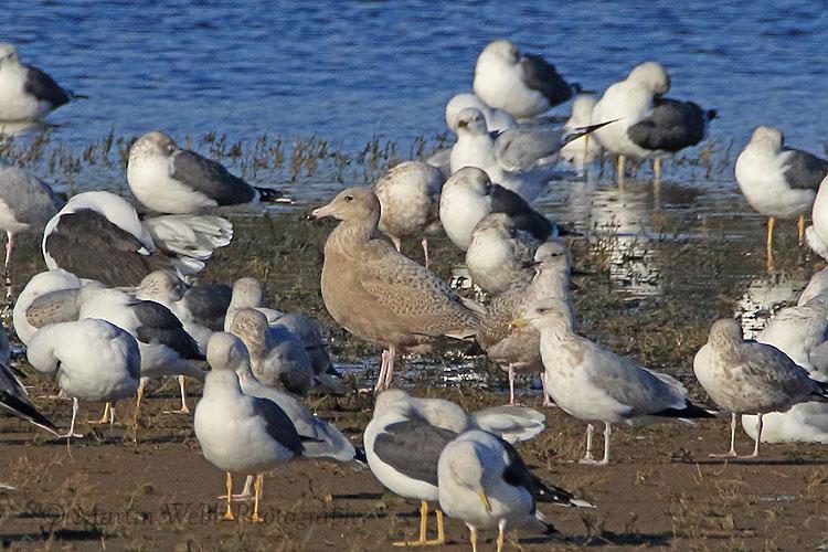 34013AC Glaucous Gull