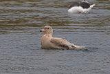 34182AC Glaucous Gull