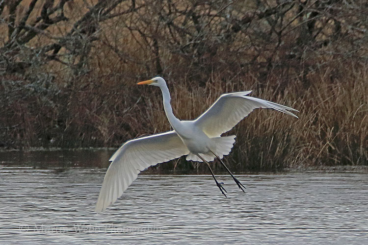 34433AC Great White Egret